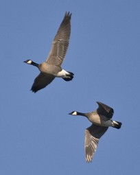 Lesser Canada Geese In Flight