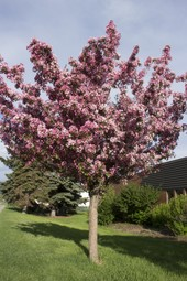 Crab Apple Blossom Tree